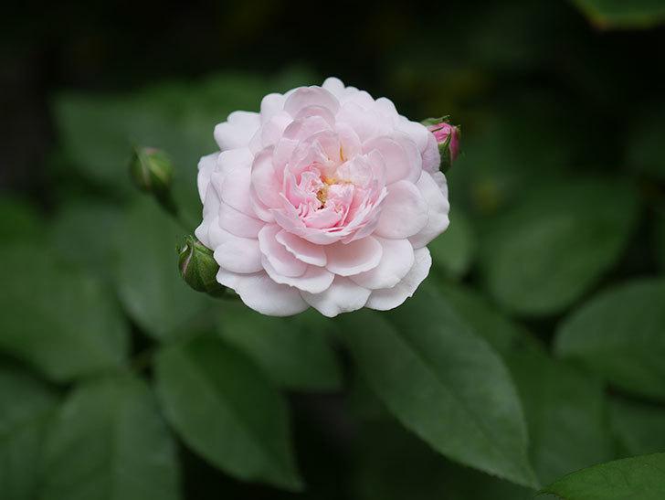 ブラッシュ・ノワゼット(Blush Noisette)の2番花が咲いた。半ツルバラ。2020年-001.jpg