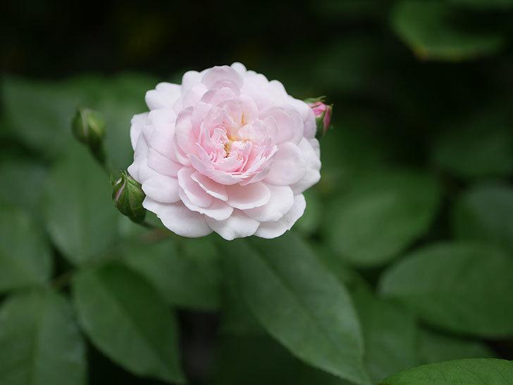 ブラッシュ・ノワゼット(Blush Noisette)の2番花が咲いた。半ツルバラ。2020年-002.jpg