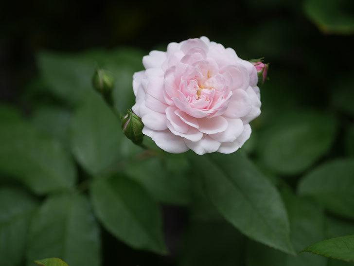 ブラッシュ・ノワゼット(Blush Noisette)の2番花が咲いた。半ツルバラ。2020年-003.jpg