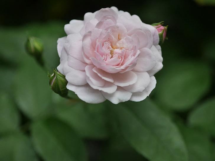 ブラッシュ・ノワゼット(Blush Noisette)の2番花が咲いた。半ツルバラ。2020年-004.jpg