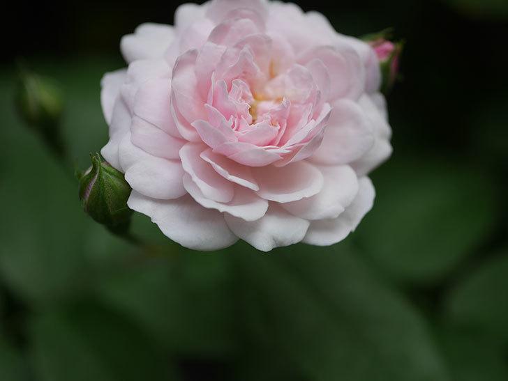 ブラッシュ・ノワゼット(Blush Noisette)の2番花が咲いた。半ツルバラ。2020年-005.jpg