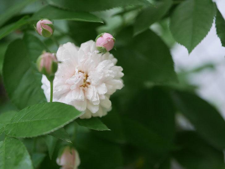 ブラッシュ・ノワゼット(Blush Noisette)の2番花が咲いた。半ツルバラ。2020年-006.jpg