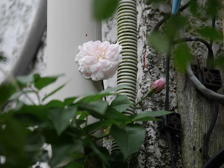 ブラッシュ・ノワゼット(Blush Noisette)の秋花が咲いた。半ツルバラ。2020年-002.jpg