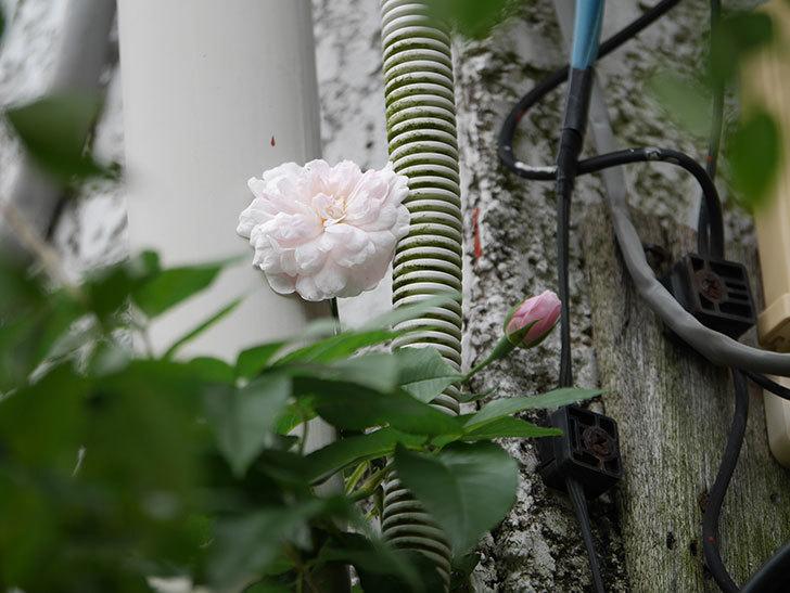 ブラッシュ・ノワゼット(Blush Noisette)の秋花が咲いた。半ツルバラ。2020年-003.jpg