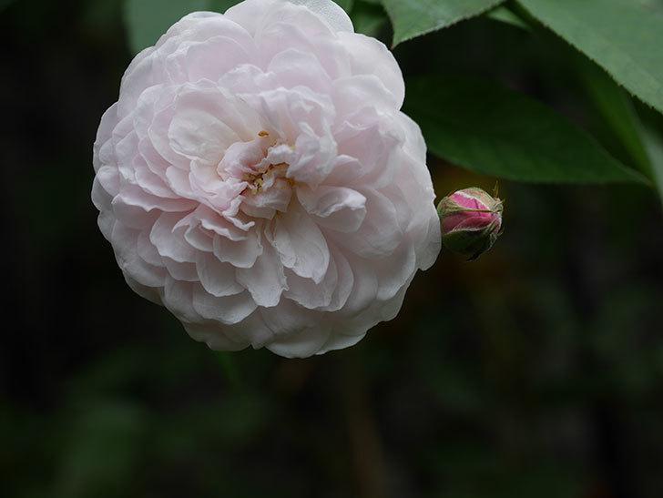 ブラッシュ・ノワゼット(Blush Noisette)の秋花が咲いた。半ツルバラ。2020年-007.jpg