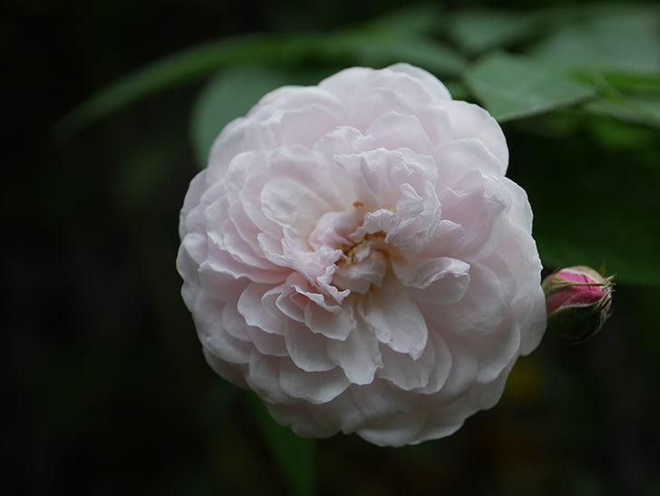 ブラッシュ・ノワゼット(Blush Noisette)の秋花が咲いた。半ツルバラ。2020年-008.jpg