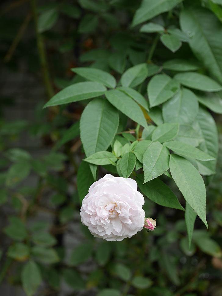 ブラッシュ・ノワゼット(Blush Noisette)の秋花が咲いた。半ツルバラ。2020年-011.jpg