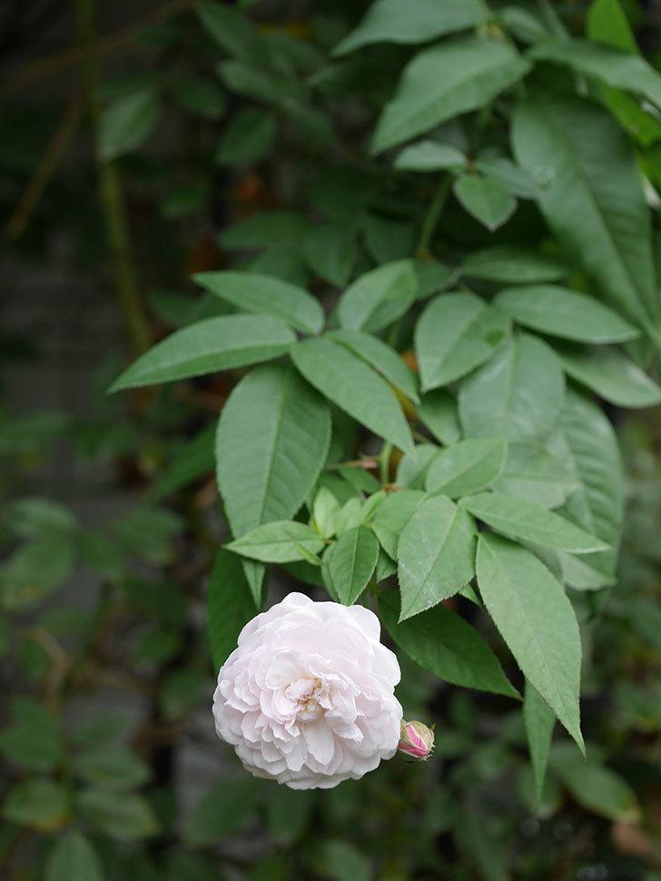 ブラッシュ・ノワゼット(Blush Noisette)の秋花が咲いた。半ツルバラ。2020年-012.jpg
