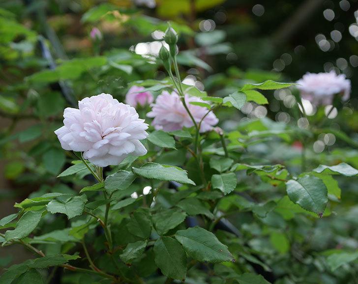 ブラッシュ・ノワゼット(ツルバラ)の2番花がまた咲いた。2018年-1.jpg