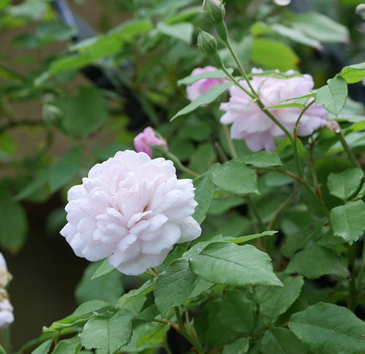 ブラッシュ・ノワゼット(ツルバラ)の2番花がまた咲いた。2018年-3.jpg