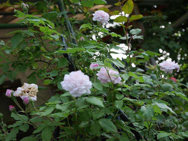ブラッシュ・ノワゼット(ツルバラ)の2番花がまた咲いた。2018年-4.jpg