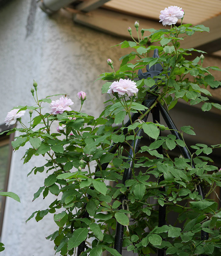 ブラッシュ・ノワゼット(ツルバラ)の2番花がまた咲いた。2018年-5.jpg