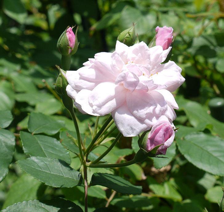 ブラッシュ・ノワゼット(ツルバラ)の2番花が咲いた。2017年-1.jpg