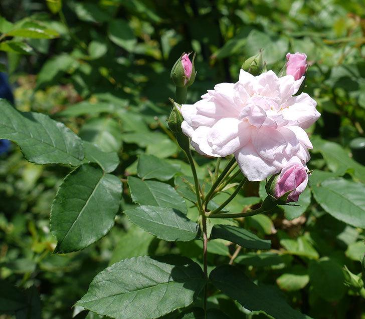 ブラッシュ・ノワゼット(ツルバラ)の2番花が咲いた。2017年-2.jpg