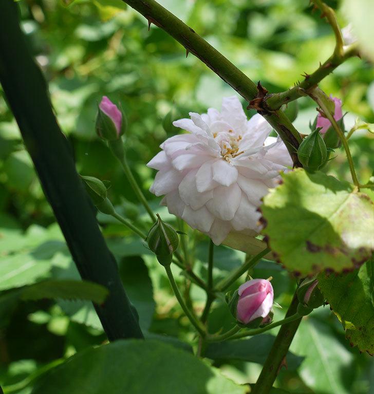 ブラッシュ・ノワゼット(ツルバラ)の2番花が咲いた。2017年-3.jpg