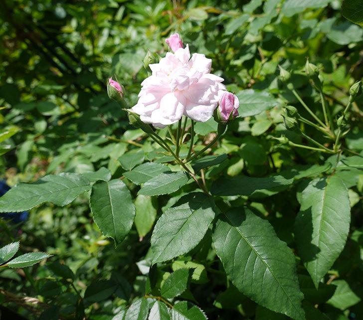 ブラッシュ・ノワゼット(ツルバラ)の2番花が咲いた。2017年-4.jpg