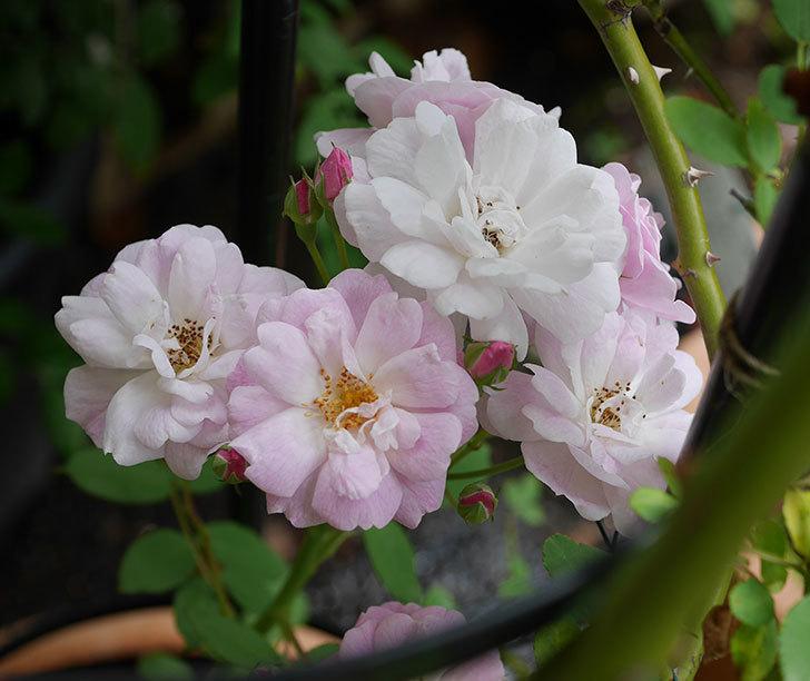 ブラッシュ・ノワゼット(ツルバラ)の2番花が咲いた。2018年-1.jpg