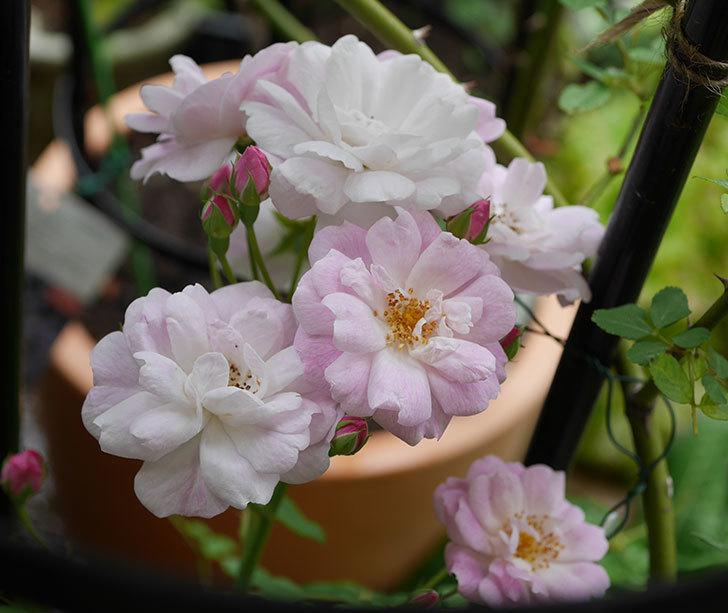 ブラッシュ・ノワゼット(ツルバラ)の2番花が咲いた。2018年-2.jpg