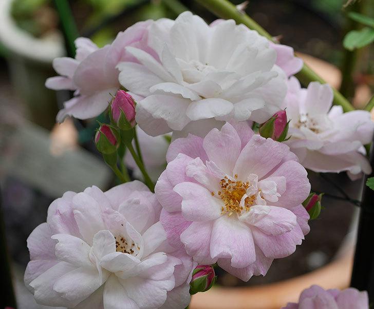 ブラッシュ・ノワゼット(ツルバラ)の2番花が咲いた。2018年-3.jpg