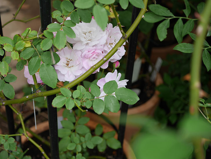 ブラッシュ・ノワゼット(ツルバラ)の2番花が咲いた。2018年-4.jpg