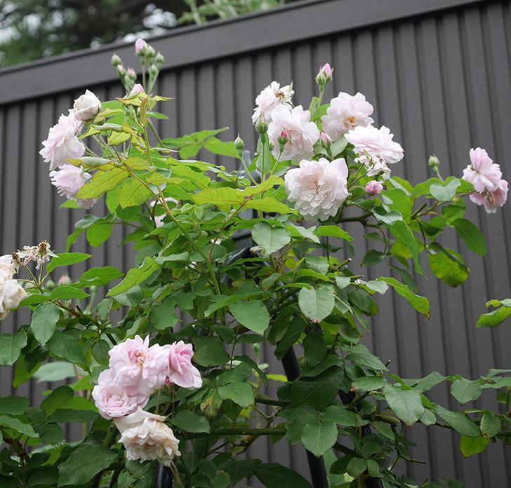 ブラッシュ・ノワゼット(ツルバラ)の2番花が咲いた。2019年-1.jpg