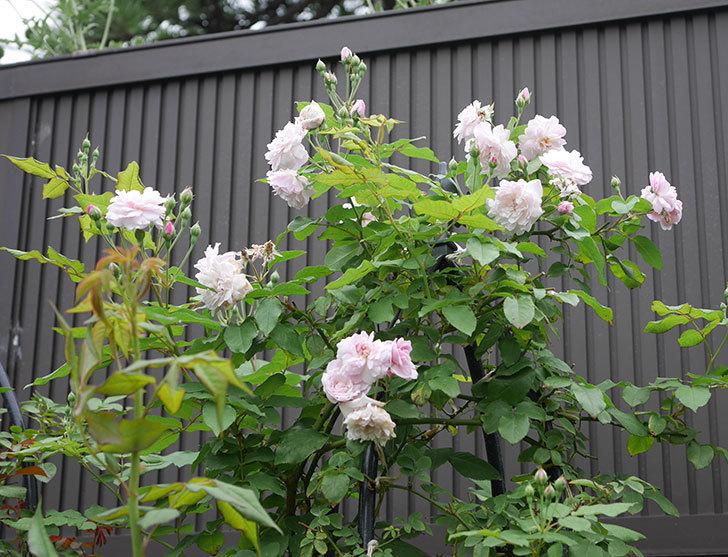 ブラッシュ・ノワゼット(ツルバラ)の2番花が咲いた。2019年-2.jpg