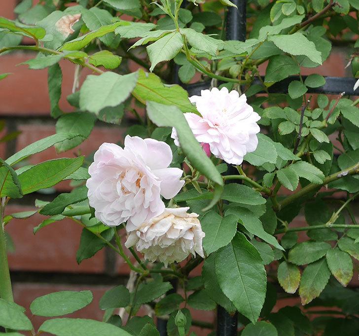 ブラッシュ・ノワゼット(ツルバラ)の2番花が咲いた。2019年-3.jpg