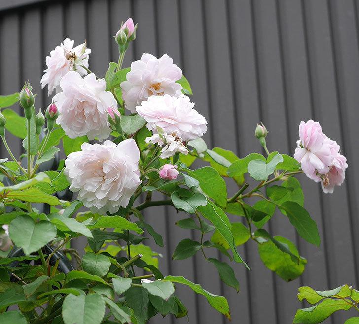 ブラッシュ・ノワゼット(ツルバラ)の2番花が咲いた。2019年-4.jpg