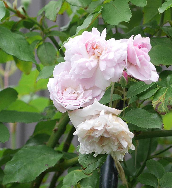 ブラッシュ・ノワゼット(ツルバラ)の2番花が咲いた。2019年-5.jpg