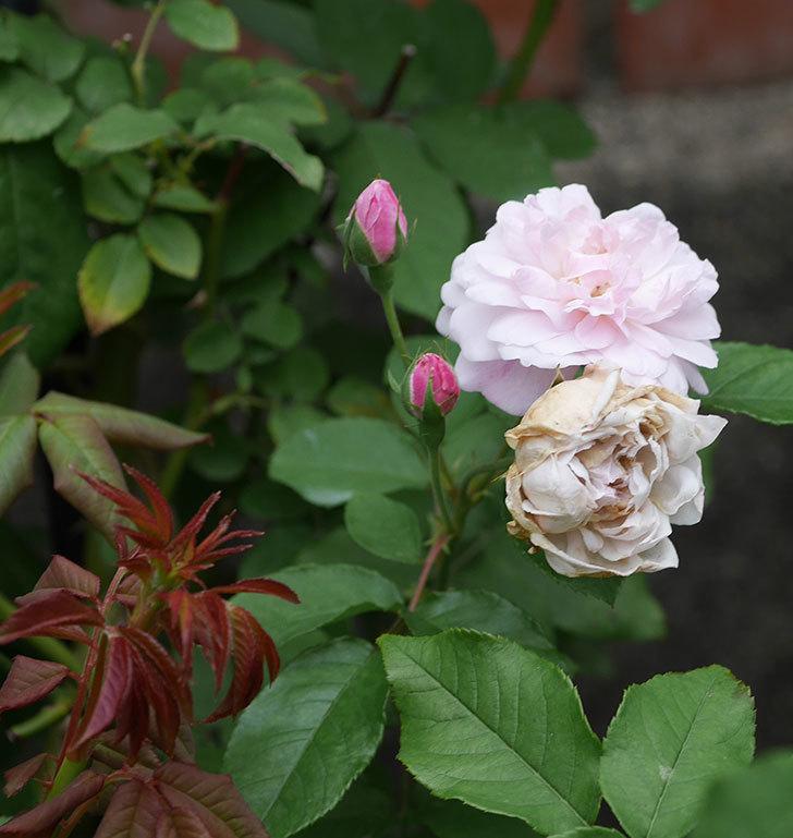 ブラッシュ・ノワゼット(ツルバラ)の2番花が咲いた。2019年-6.jpg
