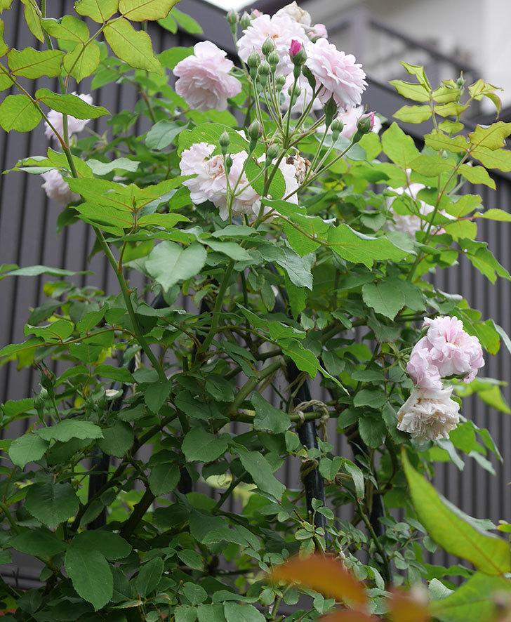 ブラッシュ・ノワゼット(ツルバラ)の2番花が咲いた。2019年-7.jpg