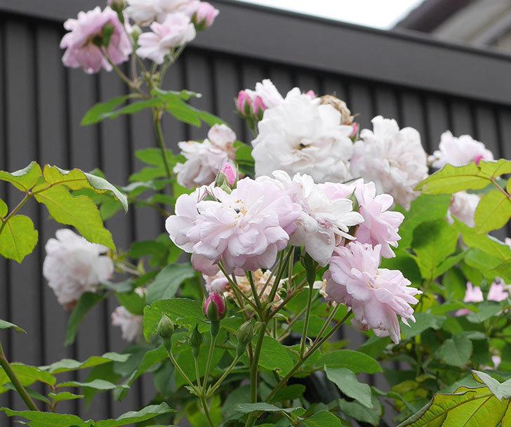 ブラッシュ・ノワゼット(ツルバラ)の2番花が咲いた。2019年-8.jpg
