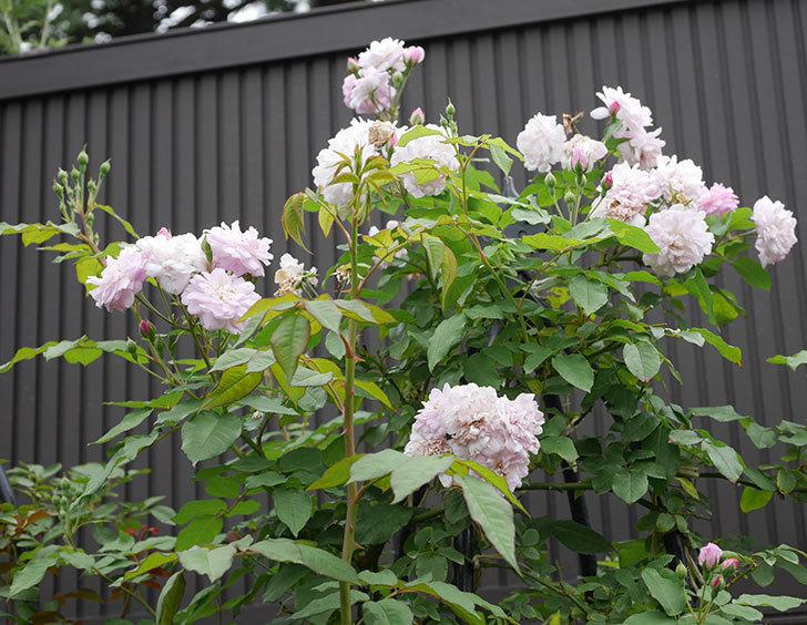 ブラッシュ・ノワゼット(ツルバラ)の2番花が咲いた。2019年-9.jpg