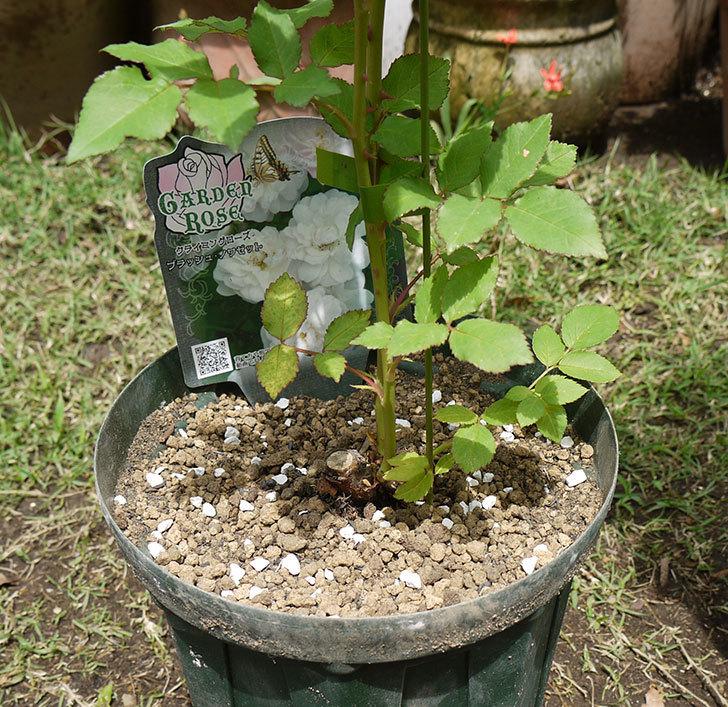 ブラッシュ・ノワゼット(ツルバラ)の新苗を6号ロングスリット鉢に植えた。2016年-1.jpg