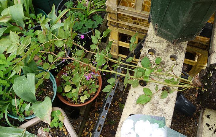 ブラッシュ・ノワゼット(ツルバラ)の新苗を6号ロングスリット鉢に植えた。2016年-2.jpg