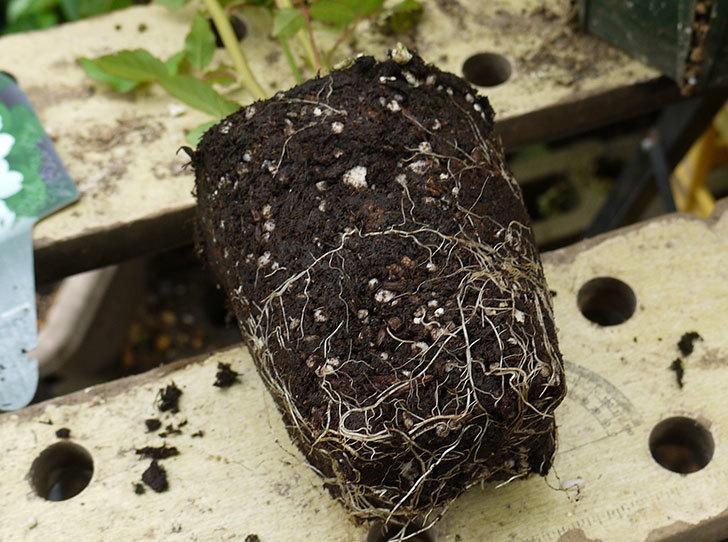 ブラッシュ・ノワゼット(ツルバラ)の新苗を6号ロングスリット鉢に植えた。2016年-3.jpg