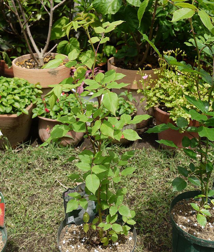 ブラッシュ・ノワゼット(ツルバラ)の新苗を6号ロングスリット鉢に植えた。2016年-5.jpg