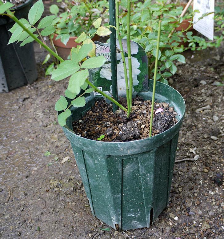 ブラッシュ・ノワゼット(ツルバラ)の新苗を8号のEUロングスリット鉢に鉢増しした。2016年-2.jpg