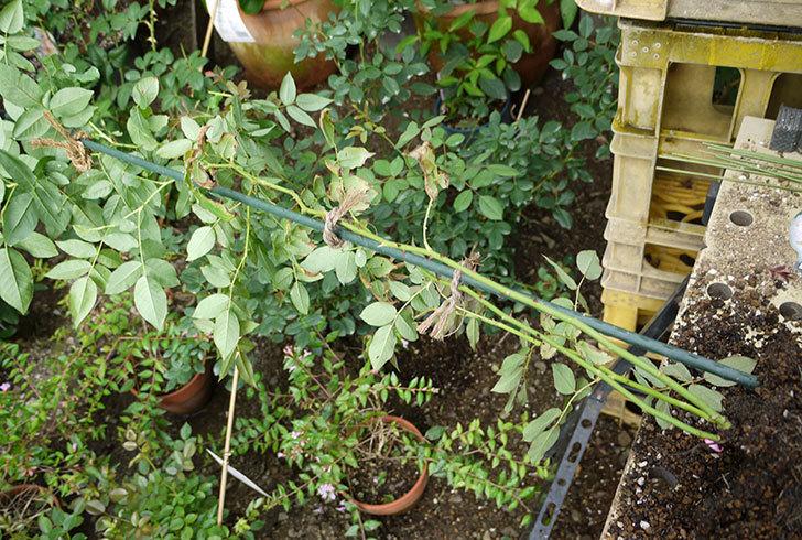ブラッシュ・ノワゼット(ツルバラ)の新苗を8号のEUロングスリット鉢に鉢増しした。2016年-3.jpg