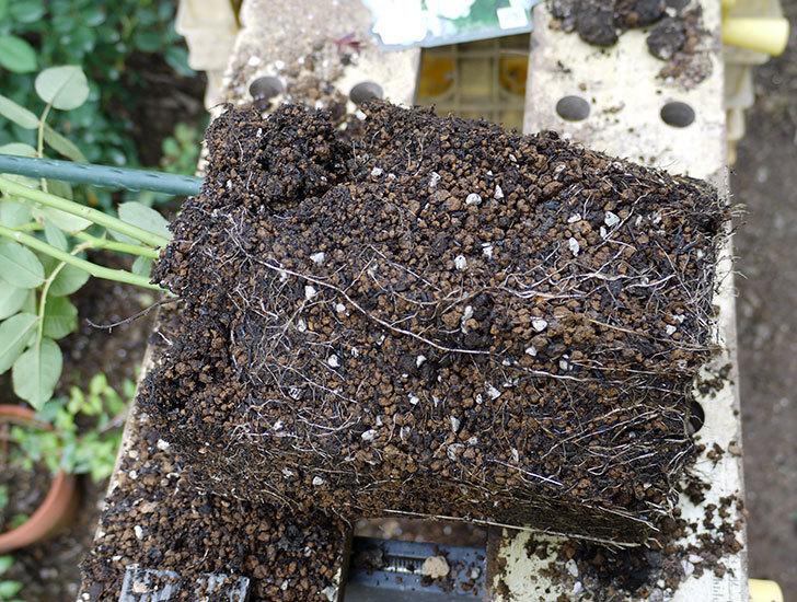 ブラッシュ・ノワゼット(ツルバラ)の新苗を8号のEUロングスリット鉢に鉢増しした。2016年-4.jpg