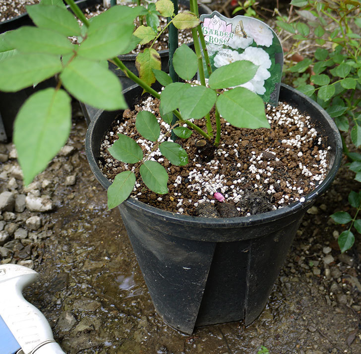 ブラッシュ・ノワゼット(ツルバラ)の新苗を8号のEUロングスリット鉢に鉢増しした。2016年-6.jpg