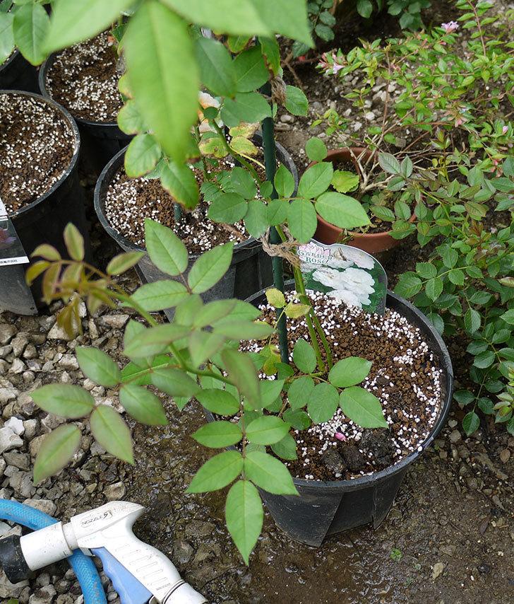 ブラッシュ・ノワゼット(ツルバラ)の新苗を8号のEUロングスリット鉢に鉢増しした。2016年-8.jpg