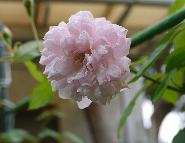 ブラッシュ・ノワゼット(ツルバラ)の秋花がまた咲いた。2016年-1.jpg