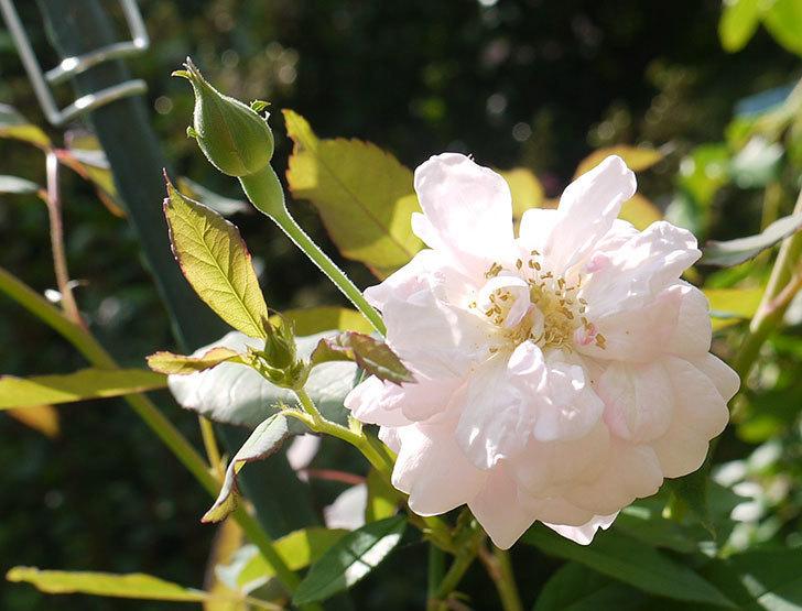 ブラッシュ・ノワゼット(ツルバラ)の秋花が咲いた。2016年-2.jpg