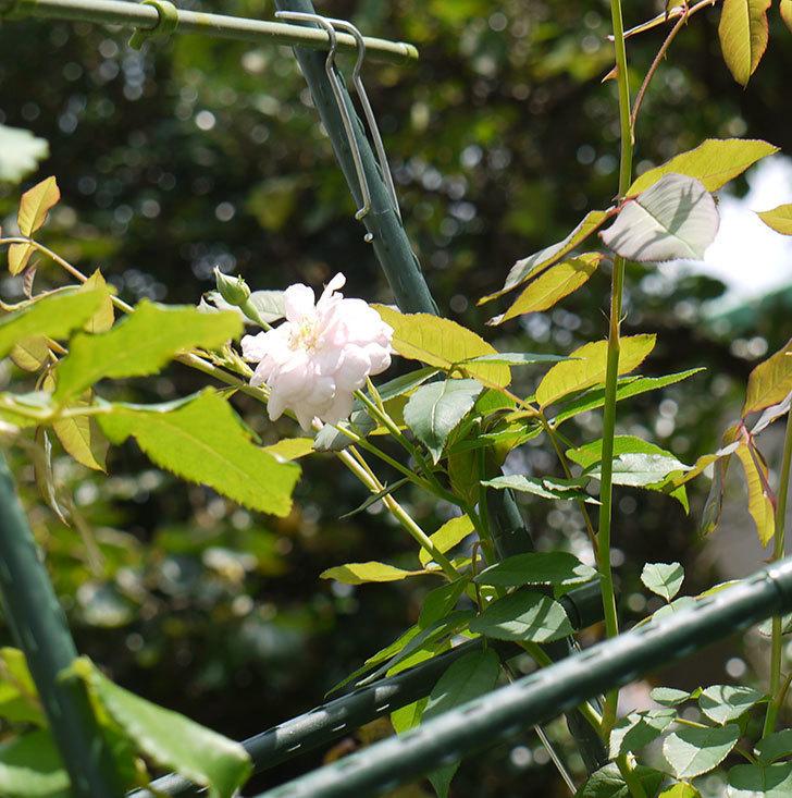 ブラッシュ・ノワゼット(ツルバラ)の秋花が咲いた。2016年-3.jpg