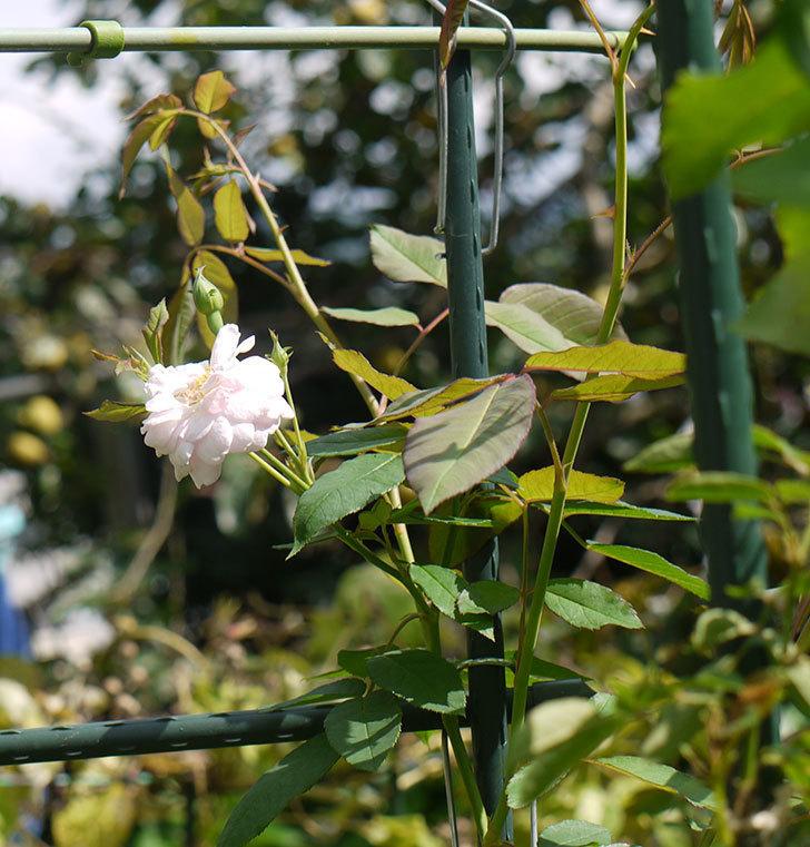 ブラッシュ・ノワゼット(ツルバラ)の秋花が咲いた。2016年-4.jpg