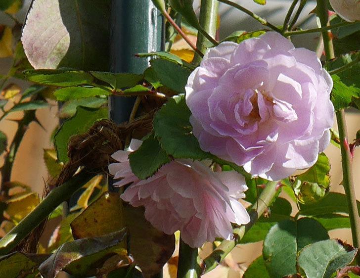 ブラッシュ・ノワゼット(ツルバラ)の秋花が咲いた。2017年-3.jpg