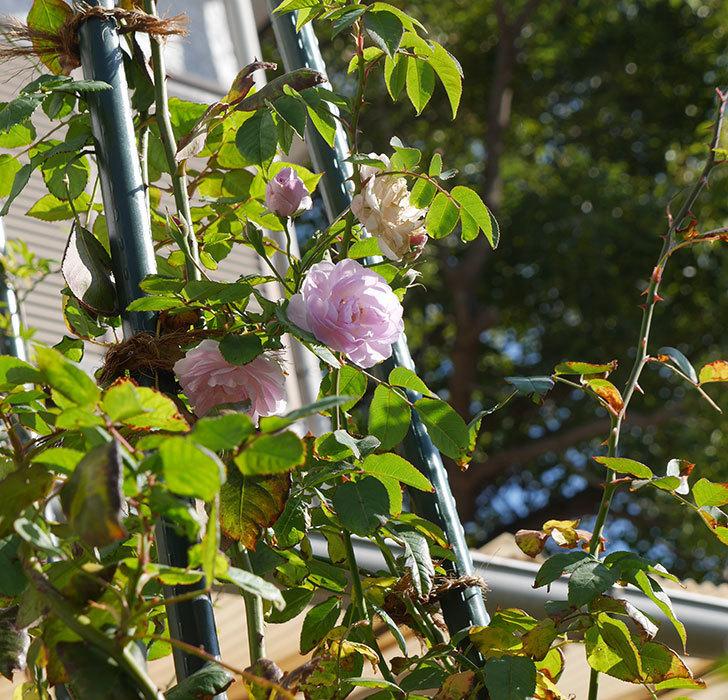 ブラッシュ・ノワゼット(ツルバラ)の秋花が咲いた。2017年-5.jpg
