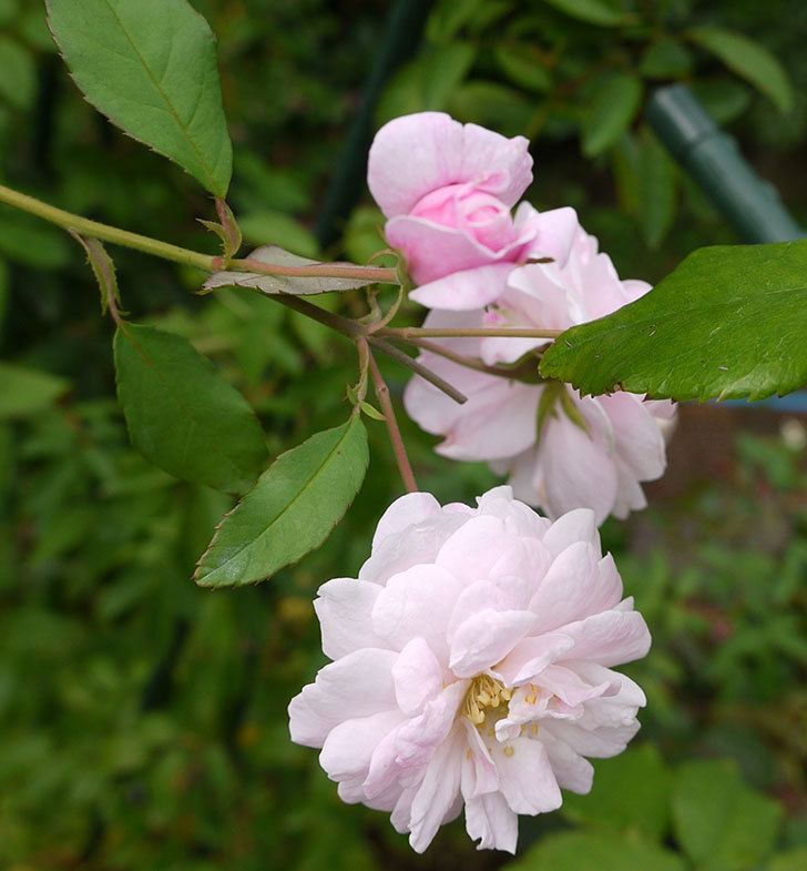 ブラッシュ・ノワゼット(ツルバラ)の秋花が増えてきた。2016年-1.jpg