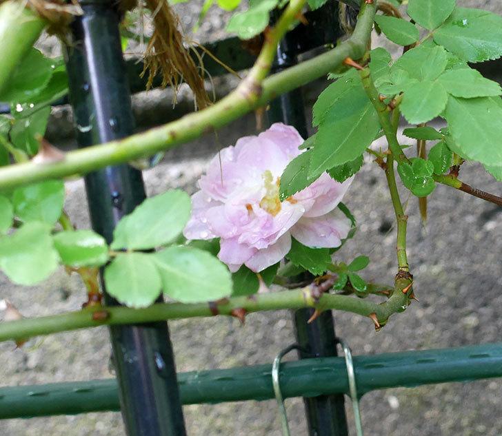 ブラッシュ・ノワゼット(ツルバラ)の花が1個咲いた。2018年-1.jpg